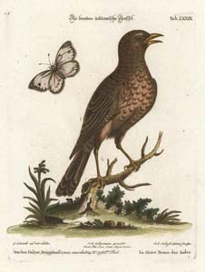 Seligmann: Brown Indian Thrush