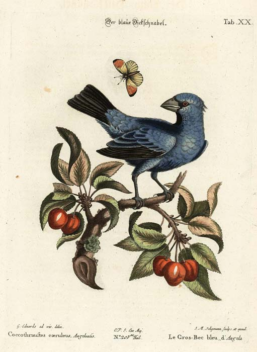 Seligmann: Blue Grosbeak
