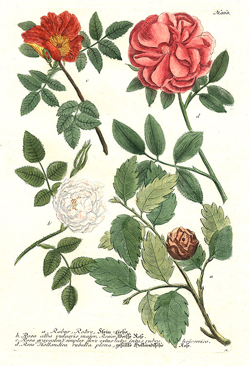 Weinmann - Roses and Holm oak